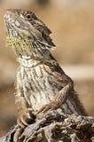 skäggig drakejournal arkivbilder