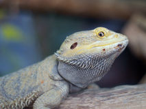 skäggig drakepogona royaltyfri foto