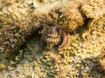 skäggig fireworm Royaltyfri Fotografi