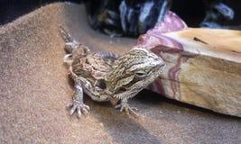 Skäggig gecko Royaltyfri Foto