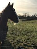 Skäggig häst i fält Arkivfoton