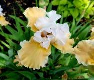 Skäggig iris royaltyfri foto