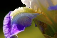 Skäggig iris på solnedgången Royaltyfri Foto