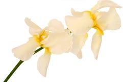 Skäggig iris två Royaltyfria Bilder