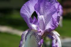 Skäggig lilja för lilor Arkivbilder