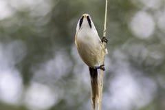 Skäggig mes för man som reedling Slut upp naturbild mot blurr Arkivbilder