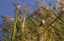 Skäggig reedling, panurusbiarmicus, i vasserna fotografering för bildbyråer