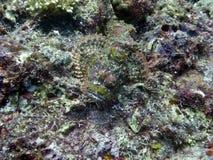 skäggig scorpionfish arkivbilder
