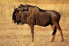 skäggig svart ökenkalahari wildebeest Arkivbild