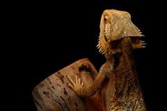 Skäggiga Dragon Basking Royaltyfri Fotografi