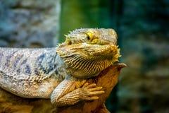 Skäggiga Dragon Pogona vitticeps Royaltyfri Fotografi