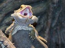 Skäggiga drakar för inland (Pogona vitticeps) Royaltyfria Foton