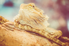 skäggiga drakepogonavitticeps Royaltyfri Bild