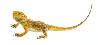 skäggiga drakepogonavitticeps Arkivbilder