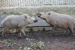 Skäggiga svin på zoolantgården Royaltyfri Foto