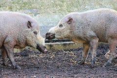 Skäggiga svin på zoolantgården Royaltyfria Foton