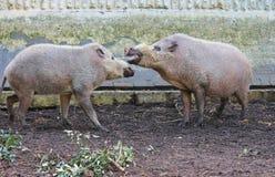 Skäggiga svin på zoolantgården Royaltyfri Fotografi