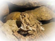 Skäggigt drakekamouflageslut upp royaltyfria foton