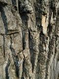 Skäll av den gamla trädtexturen royaltyfri foto