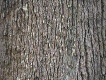 Skäll av den robusta sydliga silkeslena eken för grevillea Royaltyfria Bilder