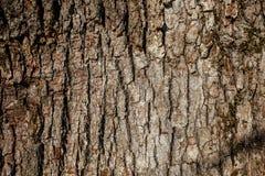 Skäll av den sydliga silkeslena eken Arkivfoton