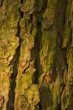 Skäll av det gamla conkerträdet Arkivbild
