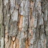 Skäll av det gamla lövfällande trädet Naturlig bakgrund textur Arkivfoto