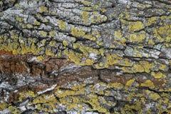 Skäll av det gamla trädet med grön och röd mossa Royaltyfria Bilder