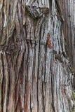 Skäll av det gigantiska plicatathujaträdet Royaltyfri Bild