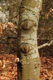 Skäll av ett bokträdträd i tidig vår arkivbilder
