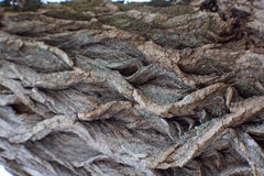 Skäll av poppelträdet Arkivfoto