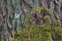 Skäll av trädet med grön mossa fotografering för bildbyråer