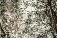 Skäll av treen Ojämn yttersida Moss och lavar arkivfoto