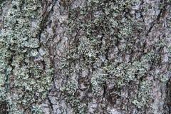 Skäll av treen Ojämn yttersida Moss och lavar arkivbild