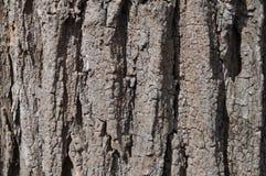 Skäll för svart gräshoppa Royaltyfria Foton