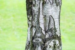 Skäll för träd för björkträd Arkivfoton