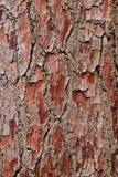 Skäll på ett sörjaträd Fotografering för Bildbyråer