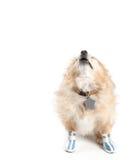 Skälla bärande skor för Pomeranian hund på vit bakgrund Arkivbilder