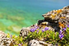 skälla georgian kustvildblommar Fotografering för Bildbyråer