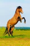 Skälla hästen som fostrar upp på ängen i sommar Royaltyfri Fotografi