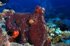 skälla hajen för havet för rev s för bläckfisken den tagna röda Royaltyfri Foto