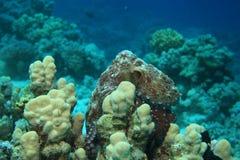 skälla hajen för havet för rev s för bläckfisken den tagna röda Arkivfoto