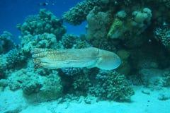 skälla hajen för havet för rev s för bläckfisken den tagna röda Royaltyfria Bilder