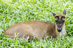 Skälla hjortar Fotografering för Bildbyråer