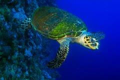 skälla sköldpaddan för sharm för hajen för el-hawksbill s tagna sheikhen Royaltyfria Foton