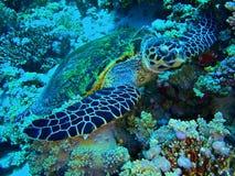 skälla sköldpaddan för sharm för hajen för el-hawksbill s tagna sheikhen Arkivbilder