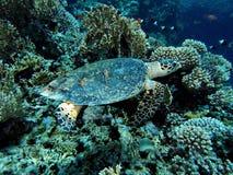 skälla sköldpaddan för sharm för hajen för el-hawksbill s tagna sheikhen Arkivfoto