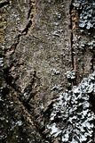 Skälla textur av trädprunusen Serrulata eller Sakura för den körsbärsröda blomningen med laven som växer på dess yttersida Royaltyfria Bilder