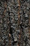 Skälla textur av trädprunusen Serrulata eller Sakura för den körsbärsröda blomningen med laven som växer på dess yttersida Royaltyfri Foto