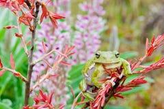 Skälla Treefrog Royaltyfria Foton